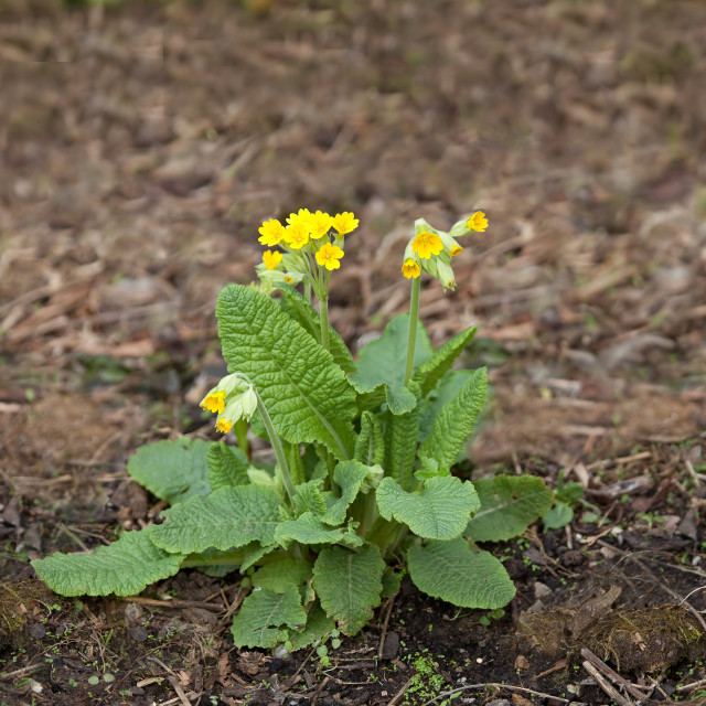 """Cowslip Wild Flower"" stock image"