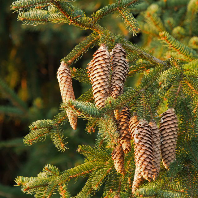 """Fir Tree Cones"" stock image"