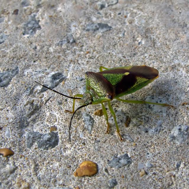 """Hawthorn Shield Bug"" stock image"