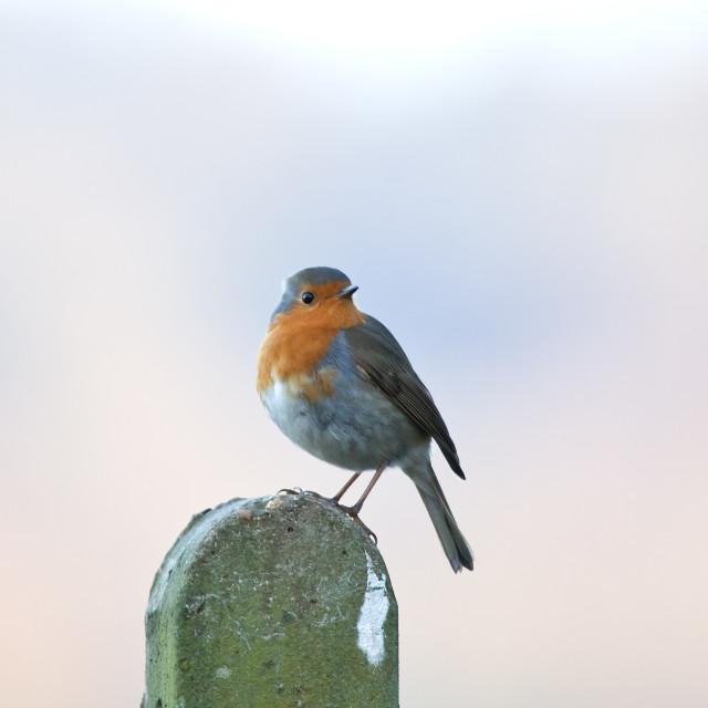 """""""European Robin on Post"""" stock image"""