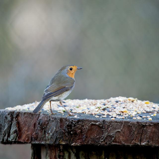 """European Robin on Seed Table"" stock image"