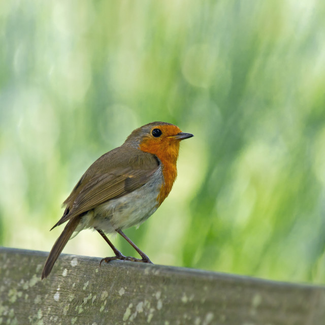 """""""European Robin Perched"""" stock image"""