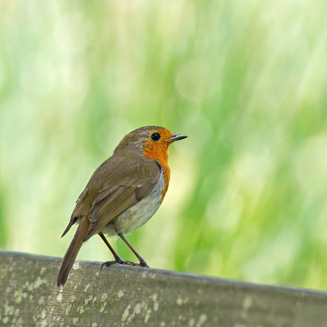 """""""Robin Perched on Seat"""" stock image"""