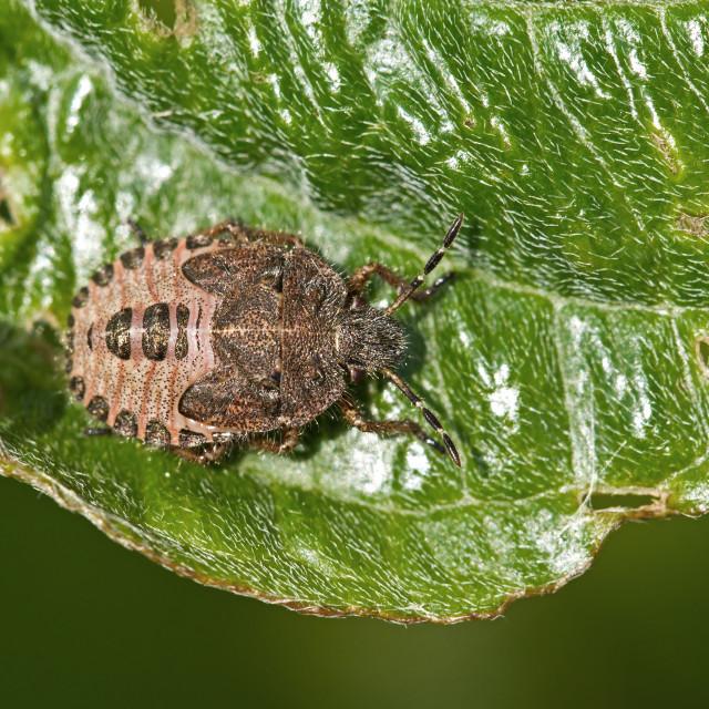 """""""Sloe Bug nymph"""" stock image"""