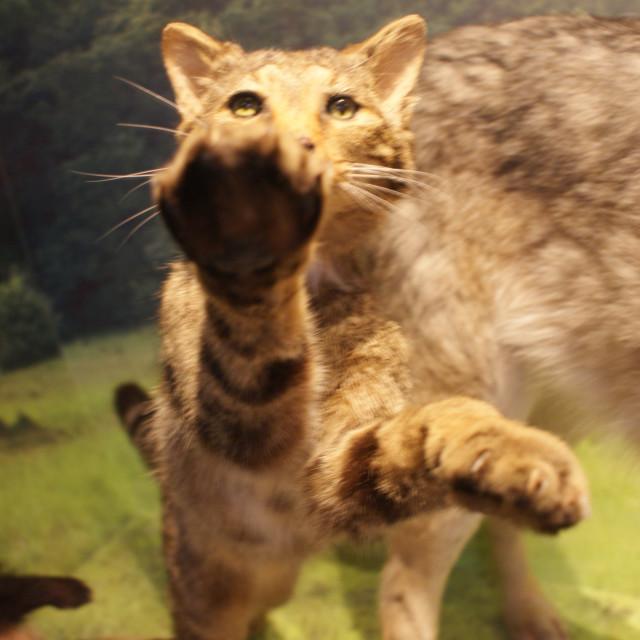"""European Wildcat - Felis silvestris silvestris"" stock image"