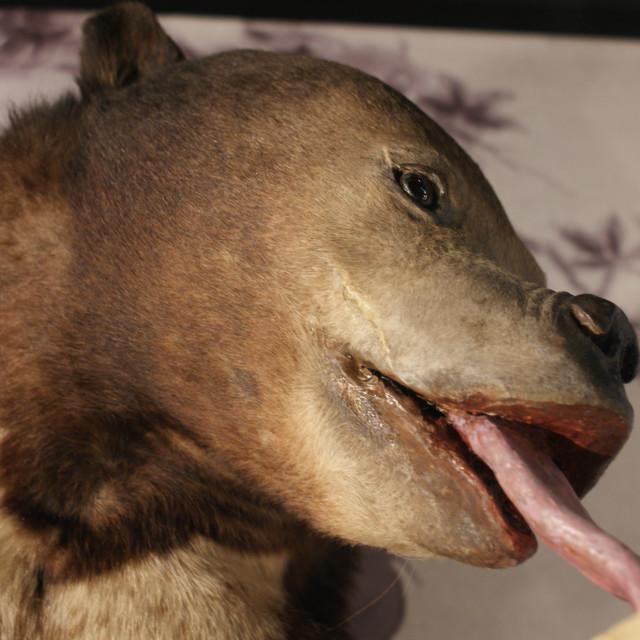 """""""Malayan Sun Bear - Helarctos malayanus"""" stock image"""