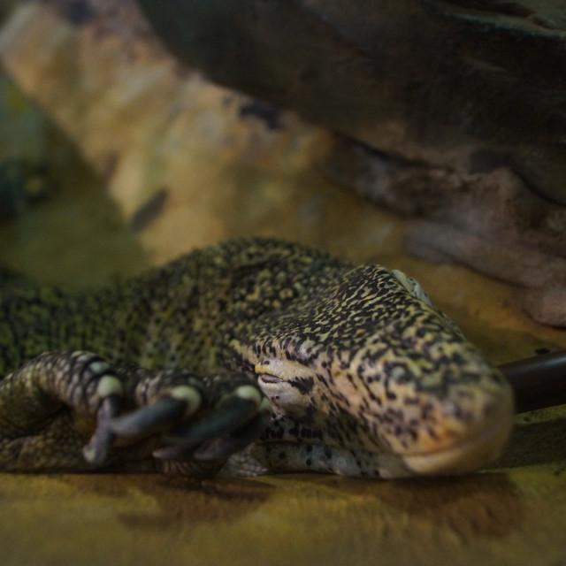 """""""Nile Monitor Lizard - Varanus niloticus"""" stock image"""