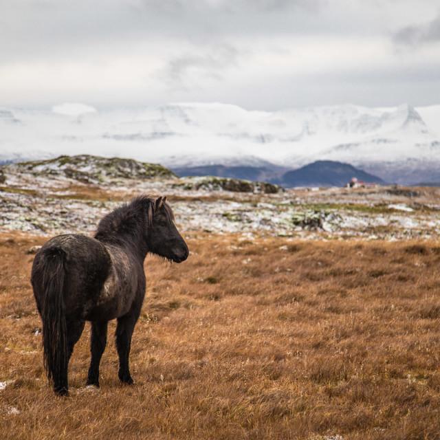 """Icelandic horse in Iceland"" stock image"