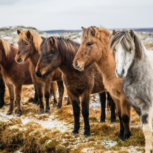 """Group of horses in field in Iceland"" stock image"