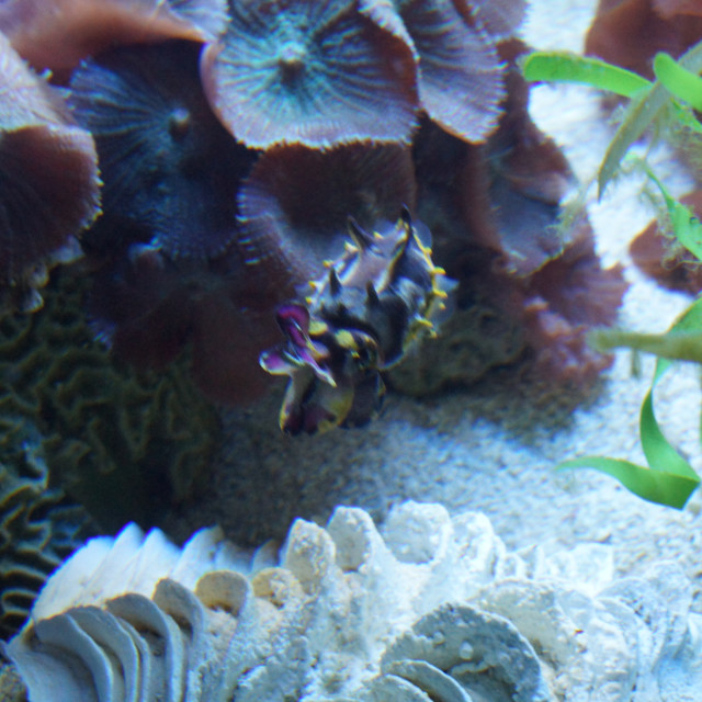 """Pfeffer's Flamboyant Cuttlefish - Metasepia pfefferi"" stock image"