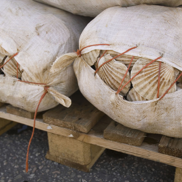 """Scallops landed on Ullapool harbour Scotland UK"" stock image"