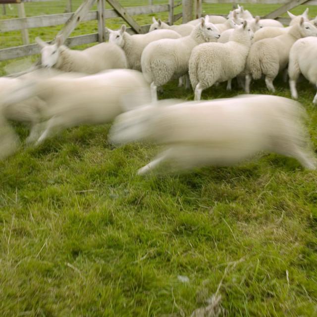 """Sheep in a pen near Stoer in Assynt Scotland UK"" stock image"