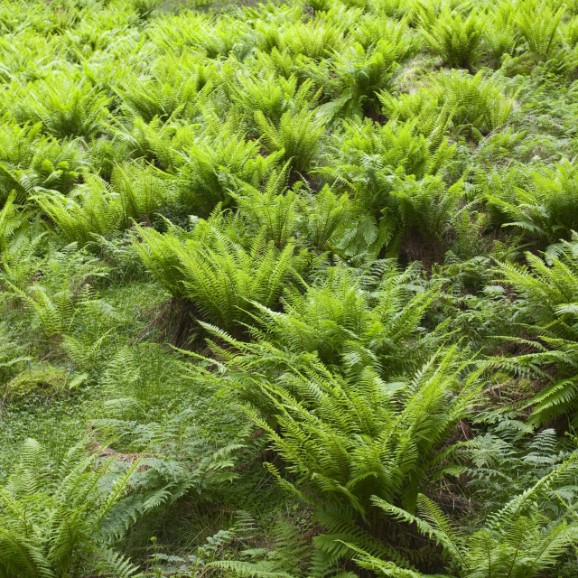 """""""Ferns in woodland in the Trossachs Scotland"""" stock image"""