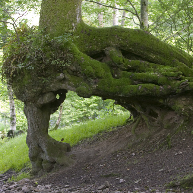 """An undermined tree in a wood near Dent Cumbria UK"" stock image"