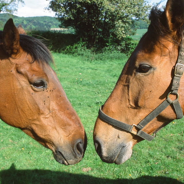"""""""2 horses greet each other"""" stock image"""