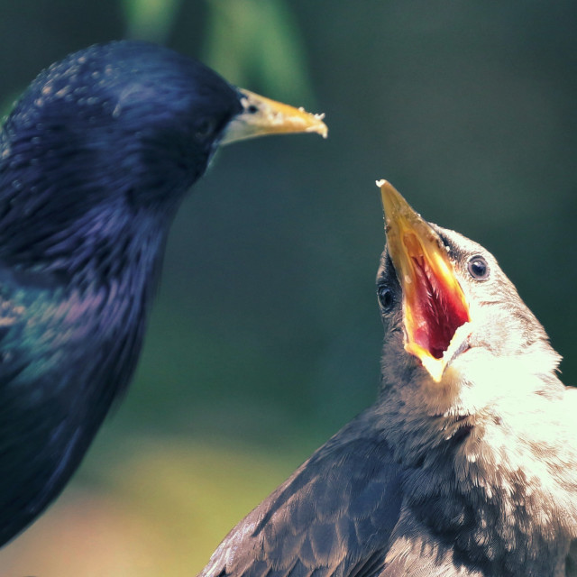 """""""Feeding the young Starlings"""" stock image"""