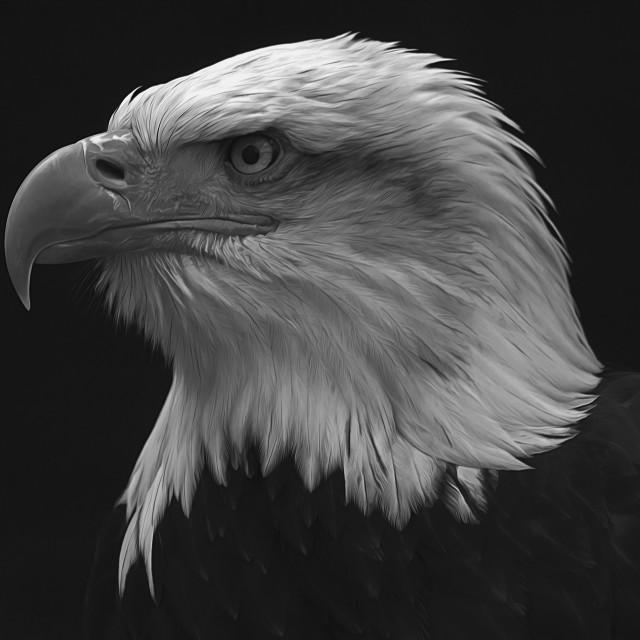 """Bald Eagle Black and White Portrait"" stock image"