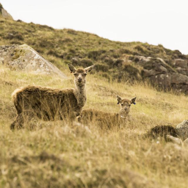 """Scotland - Isle of Rum - Red Deer"" stock image"