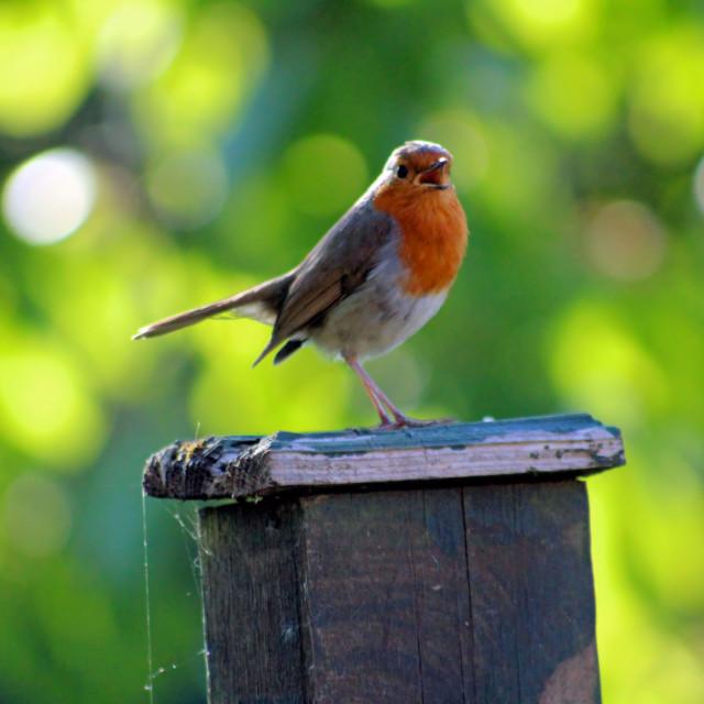 """Evening Robin"" stock image"