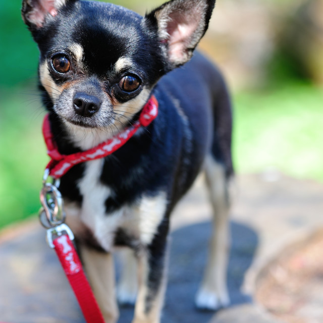 """Chihuahua portrait"" stock image"