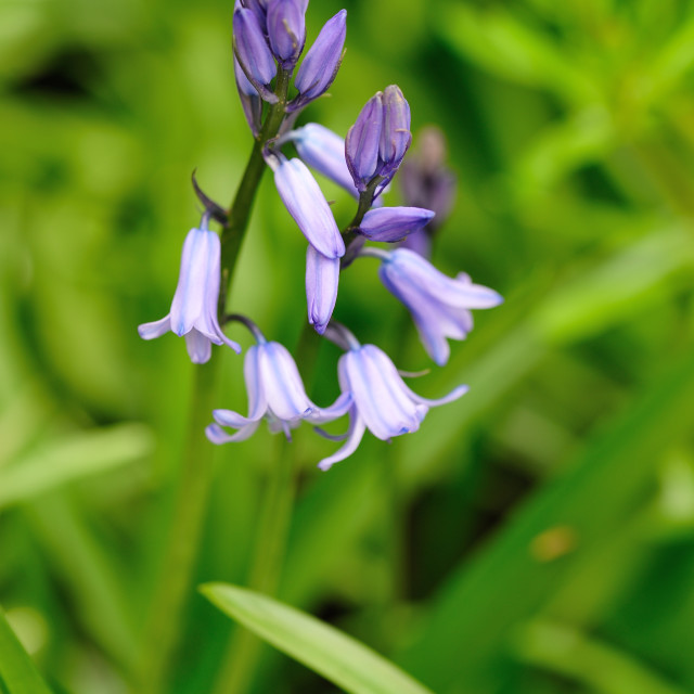 """Single bluebell"" stock image"
