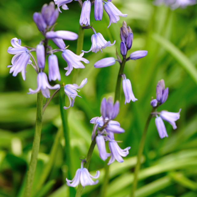 """Bluebell daydream"" stock image"