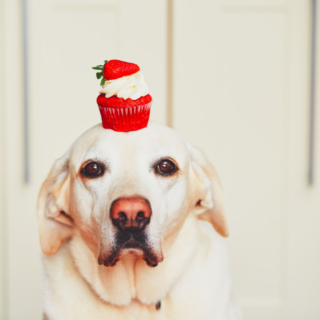 """Cute dog with cupcake in kitchen. Labrador retriever keeps cake on his head."" stock image"