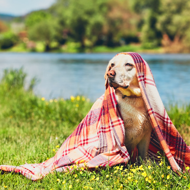 """""""Wet dog after swimming"""" stock image"""