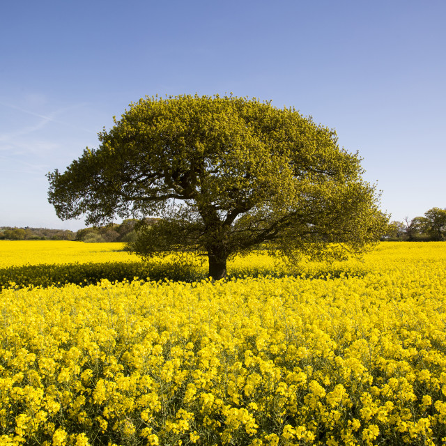 """Landican Rapeseed Beauty"" stock image"