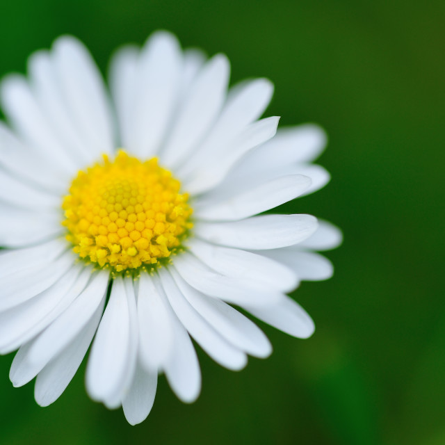 """Summer garden daisy"" stock image"