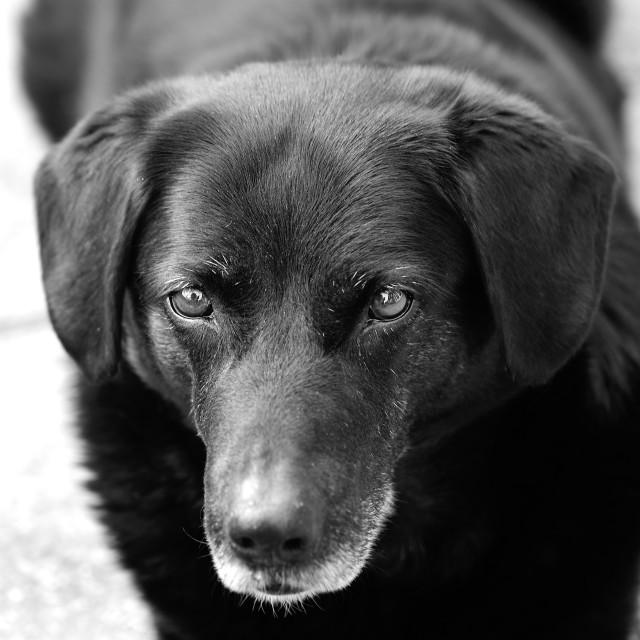 """Black and white dog portrait"" stock image"