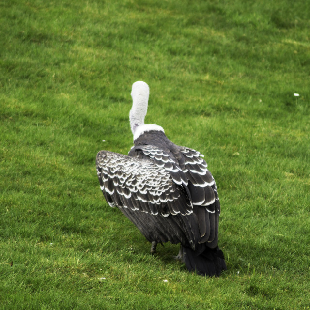 """""""Ruppell Griffon Vulture walking along"""" stock image"""