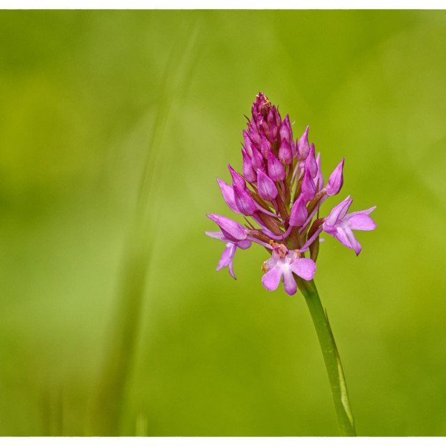 """Pyramidal Orchid"" stock image"