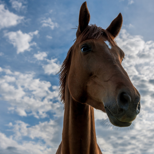 """A beautiful red horse"" stock image"