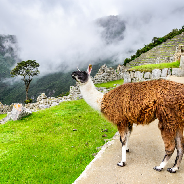 """Lama at Machu Picchu, Sacred Valley, Cusco - Peru"" stock image"