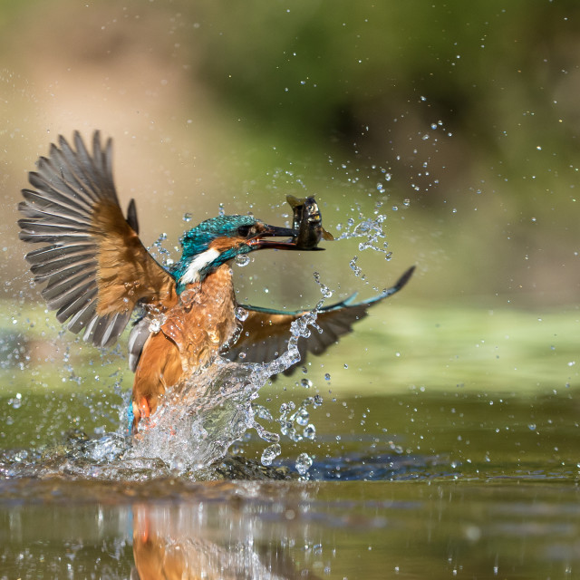 """Kingfisher capture"" stock image"