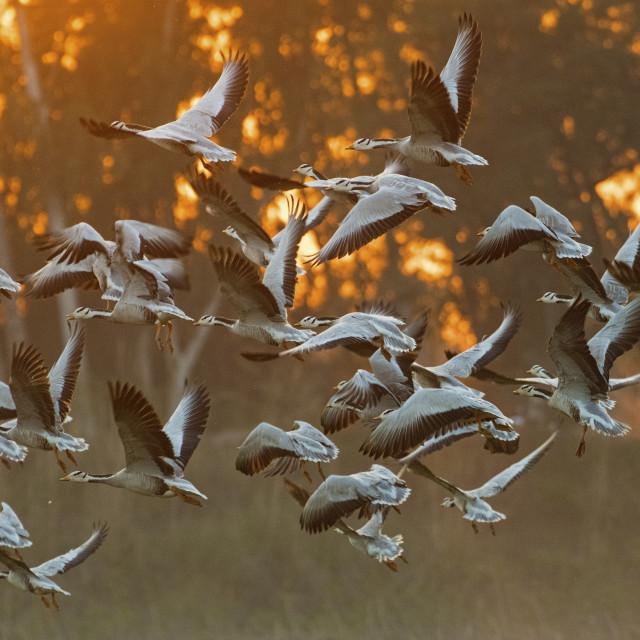 """Bar headed Goose flying"" stock image"
