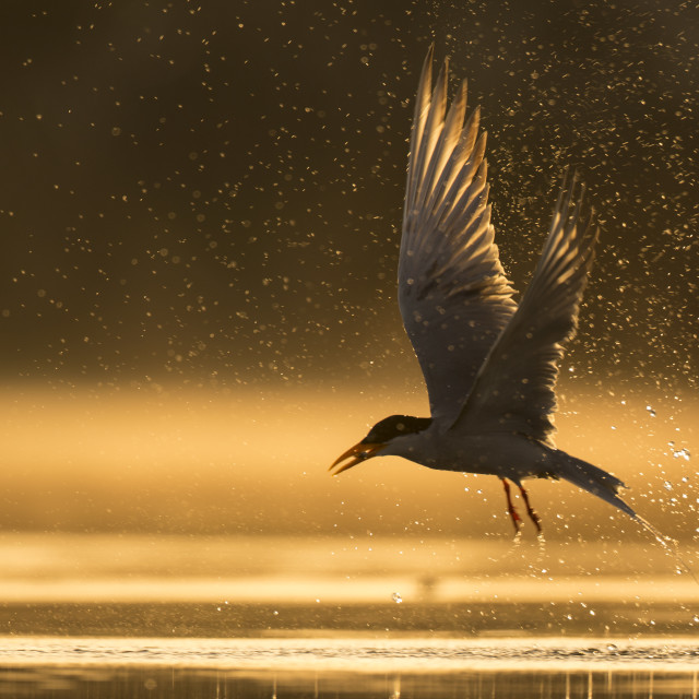 """The river tern"" stock image"