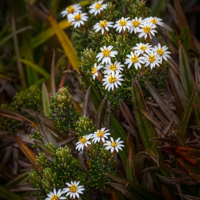 """Native flowers, Tasmania"" stock image"
