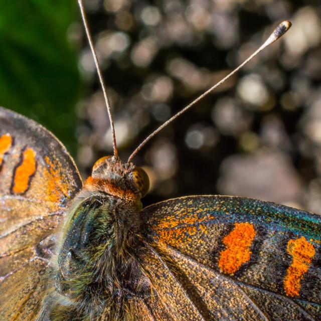 """""""Buckeye butterfly"""" stock image"""