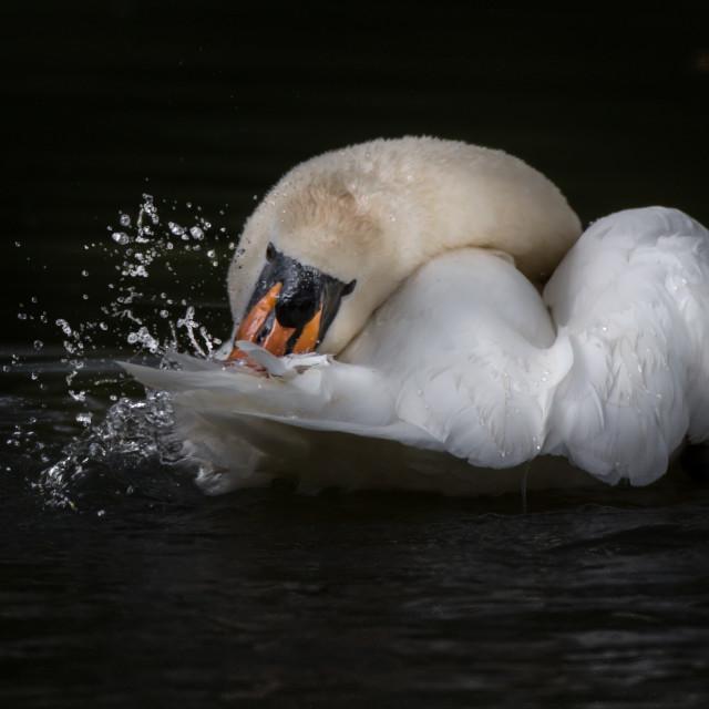 """""""A Swan splashing."""" stock image"""