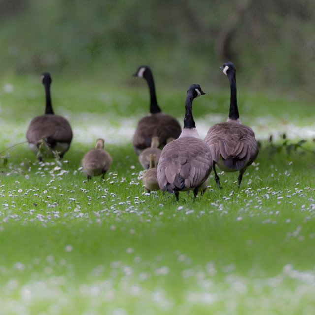 """""""Canadian Geese and their Goslings."""" stock image"""