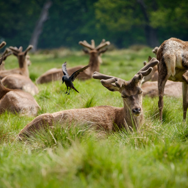 """Red deer stags with spring antler growth"" stock image"