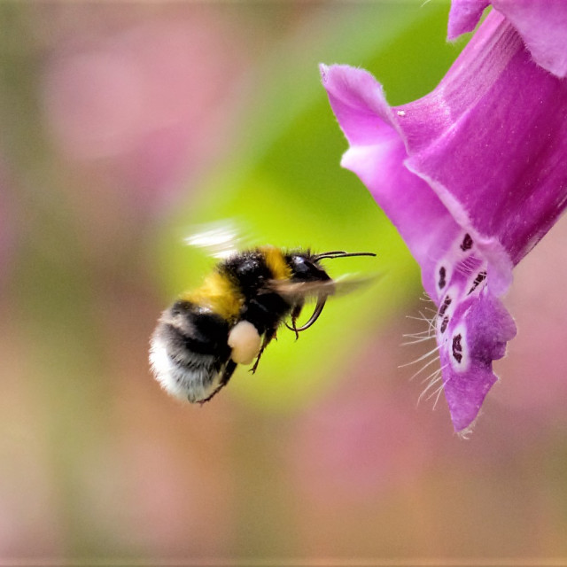 """""""A Bumble bee flying into a foxglove"""" stock image"""