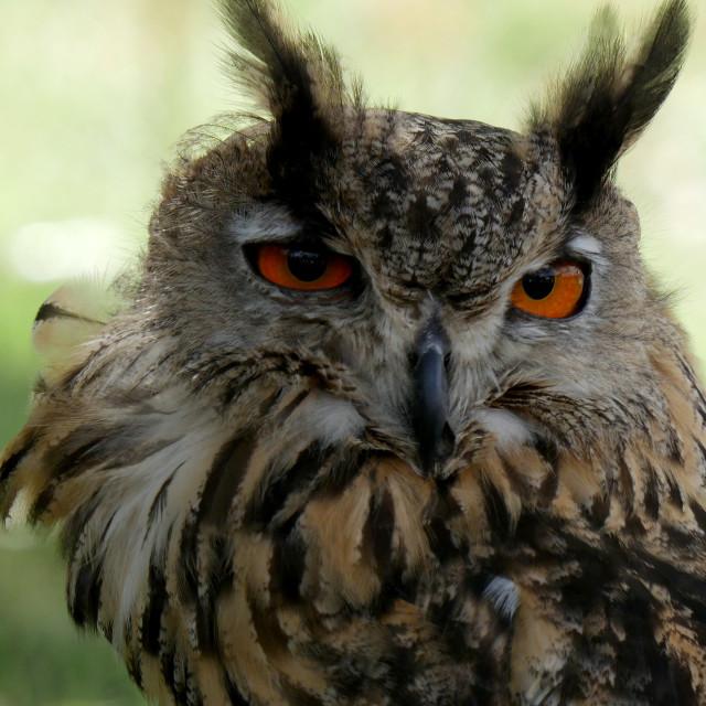 """""""Eagle Owl/An eagle owl"""" stock image"""