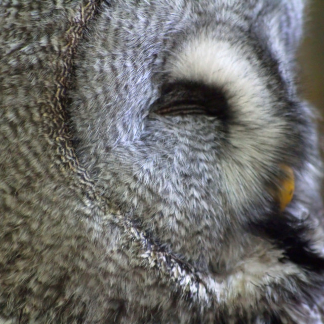 """Great Grey owl Profile"" stock image"