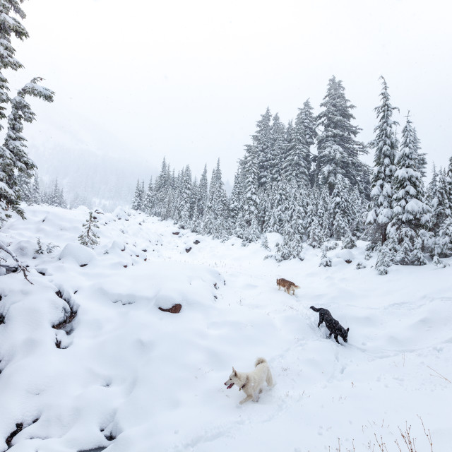 """Dogs Playing in a Snowstorm"" stock image"