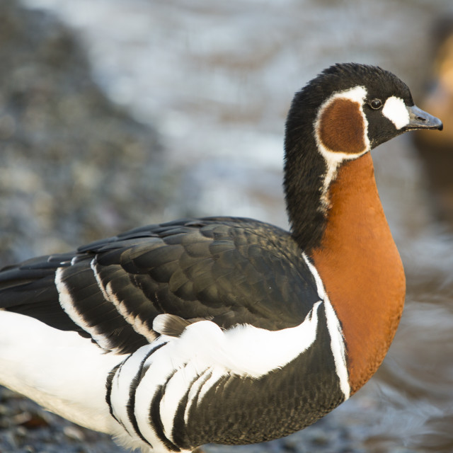 """""""A captive Red Breasted Goose (Branta ruficollis) at Martin Mere, A Wildfowl..."""" stock image"""