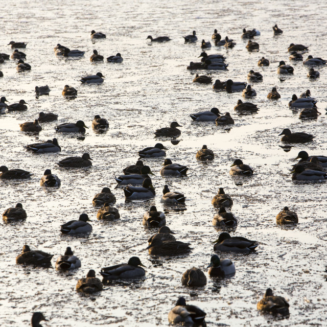 """Mallard ducks (Anas platyrhynchos) at Martin Mere, A Wildfowl and Wetlands..."" stock image"