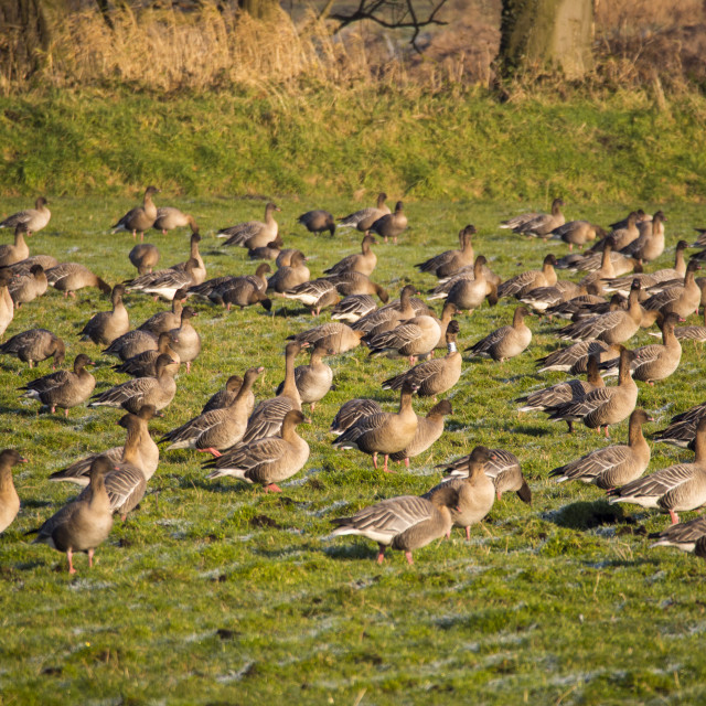 """""""Pink Footed Geese (Anser brachyrhynchus) feeding in a field near Martin Mere,..."""" stock image"""